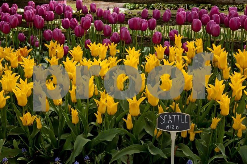 Tulips M1810, 5347.jpg