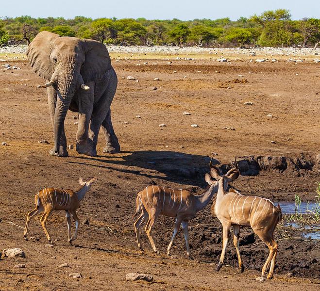 Alarmed kudu