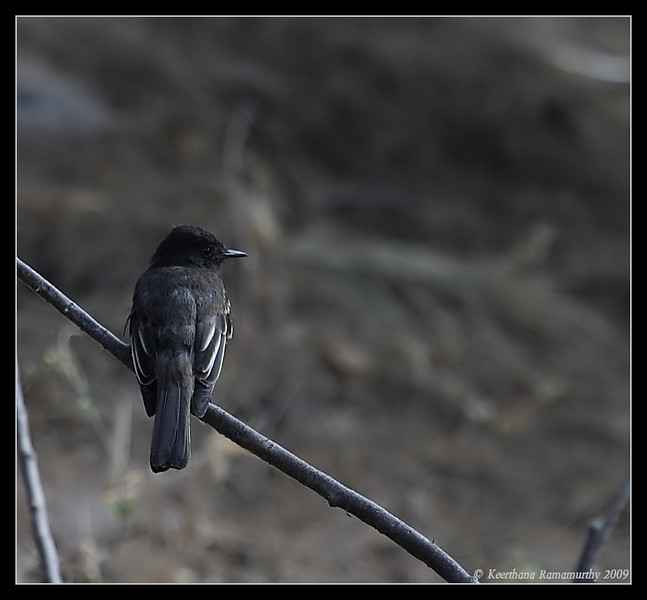 Black Phoebe, Bird & Butterfly Garden, Imperial Beach, San Diego County, California, August 2009