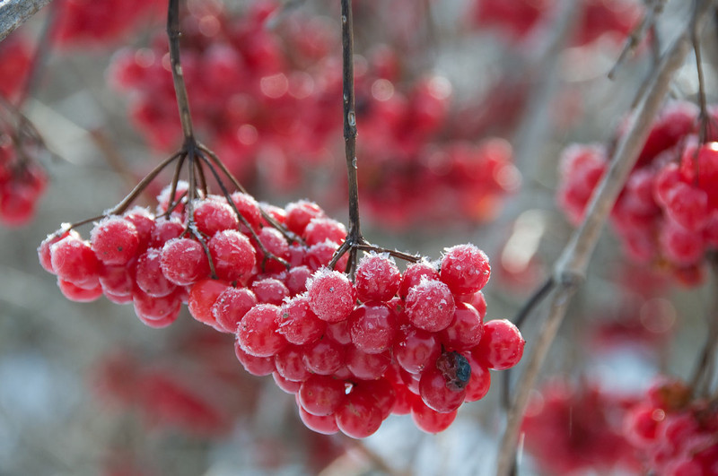 frosted-berries.jpg