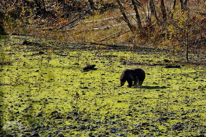 Grizzly Bear DSCF6902.jpg