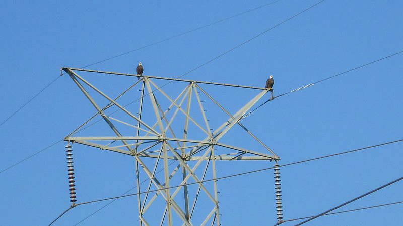 Bald eagles on power line tower