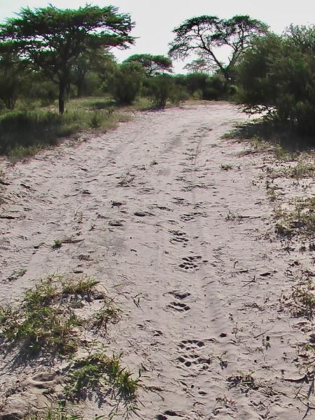 Lions, Etosha National Park, Namibia