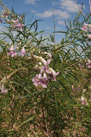 Flowers of Southwestern Utah July 2009