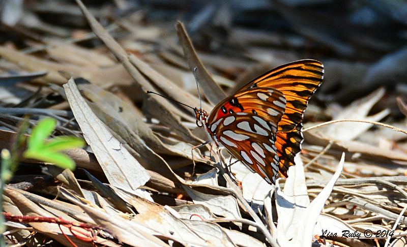 Gulf Fritillary Butterfly (I think that's what this is)  - 6/29/2014 - Bird and Butterfly Garden, Imperial Beach