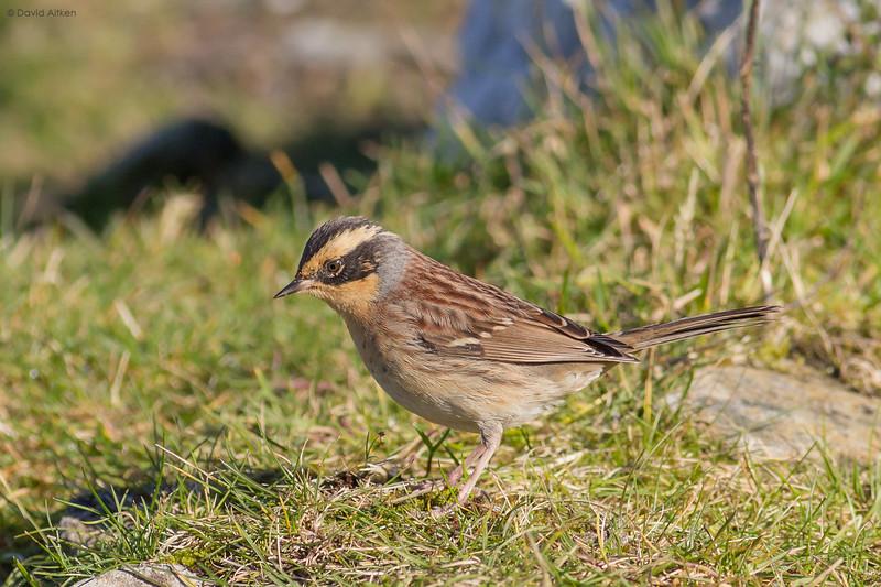 Siberian Accentor - Mossy Hill, Scousburgh, Shetland 10/10/16