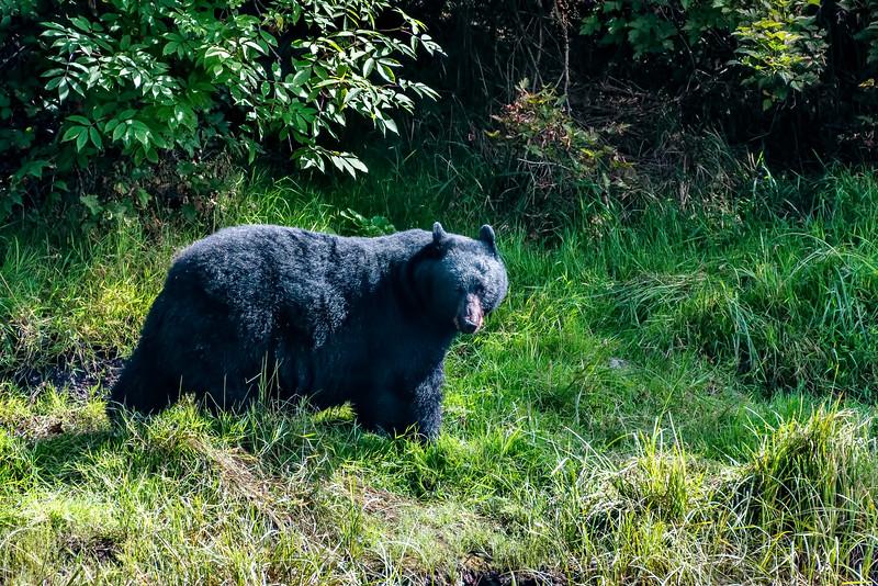 DSC 8650 black bear.jpg