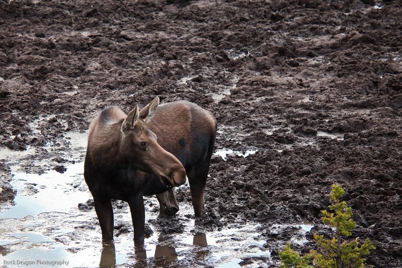 Moose, Kananaskis Country, Alberta
