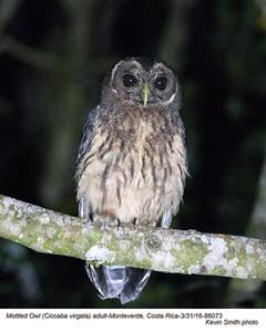 Mottled Owl A86073.jpg
