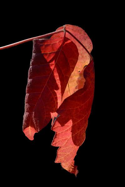 DSC_9978 AR piison ivy leaf tNEF ps-.jpg