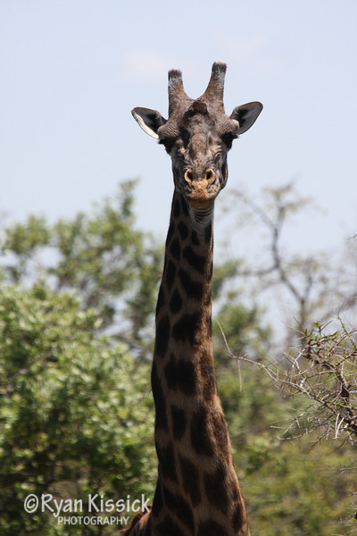 Long giraffe neck