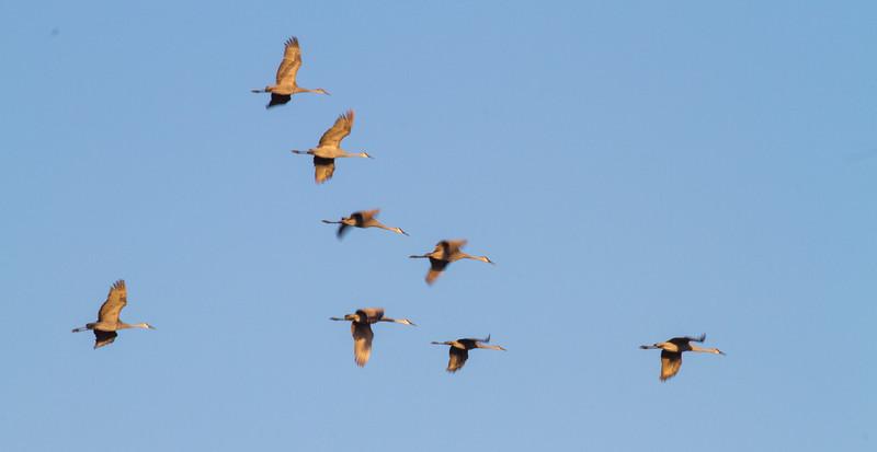 Sandhill Crane flock flying flight Sherburne National Wildlife Refuge Sherburne County MNIMG_1627.jpg