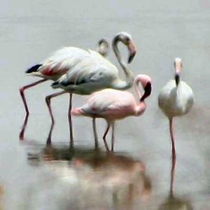 Lesser Flamingo