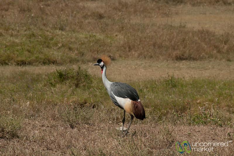 Crested Crane - Serengeti, Tanzania