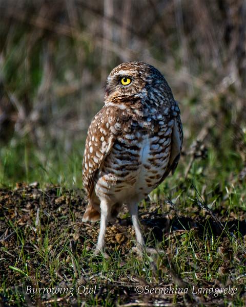 _DSC9828Burrowing owl.jpg