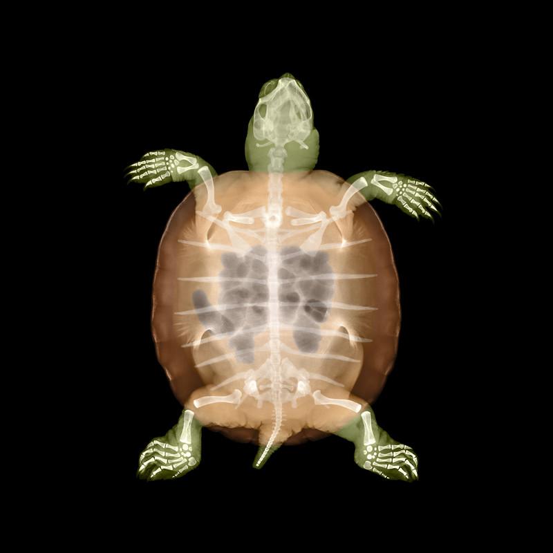 Turtle X-Ray.jpg
