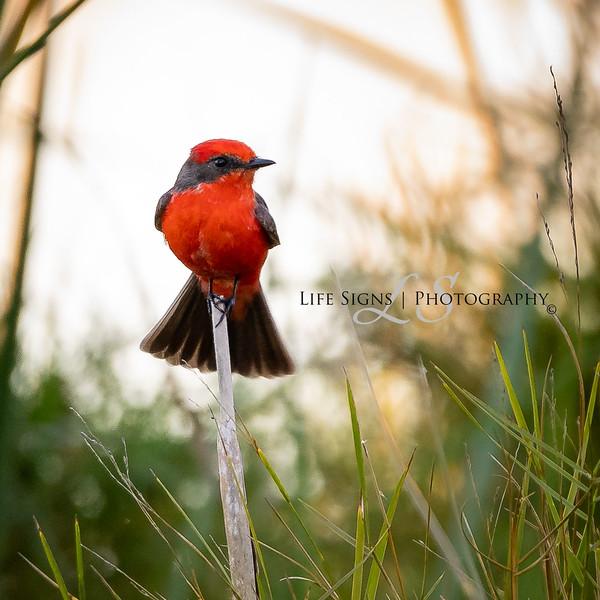LS - Birds - Vermilion Flycatcher - Square.jpg