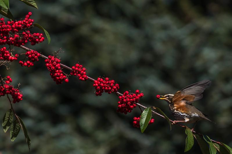 2017-01-02 RC Redwings Blackbirds Berries-2-297-2.jpg