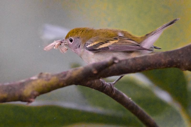 19-Sept Costa Rica Birds-2236.JPG