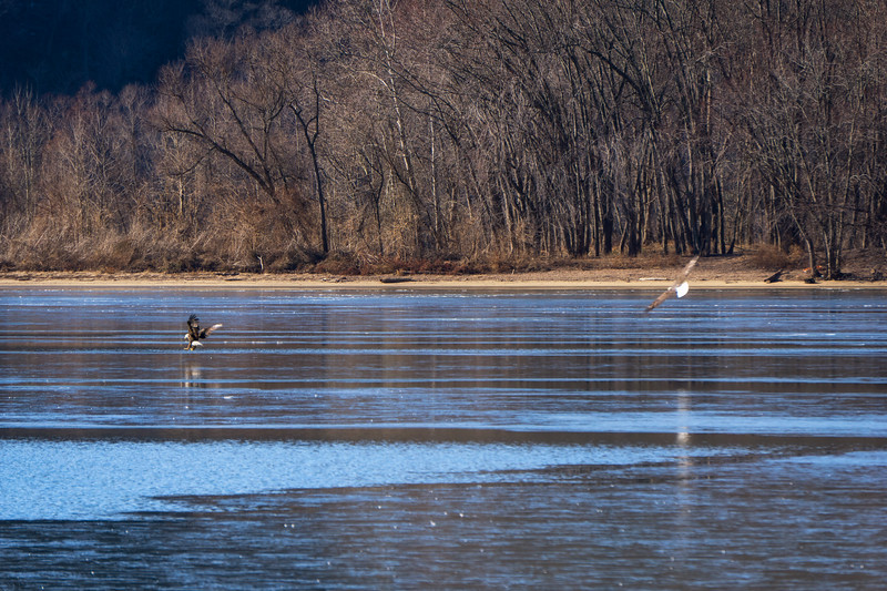1131 - Susquehanna - Bald Eagles Playing on Ice (p)