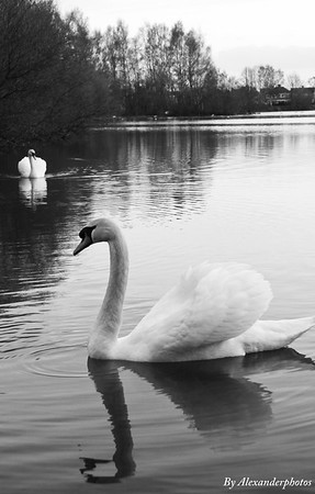 Swan pair Lake side 2012