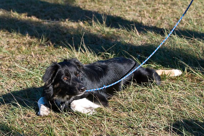 Storm, Australian Shepherd puppy