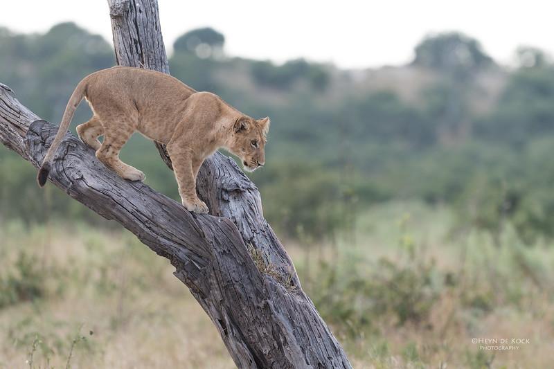 African Lion, Savuti, Chobe NP, Botswana, May 2017-35.jpg