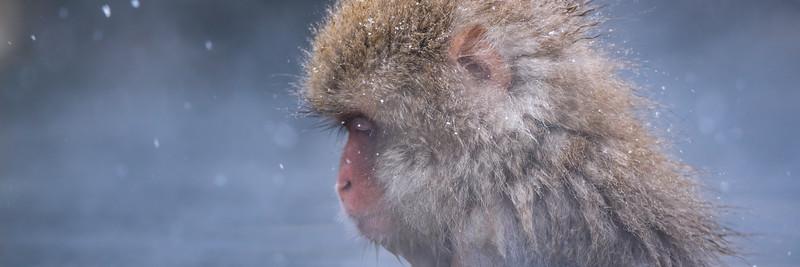 Snow Monkeys | Nagano