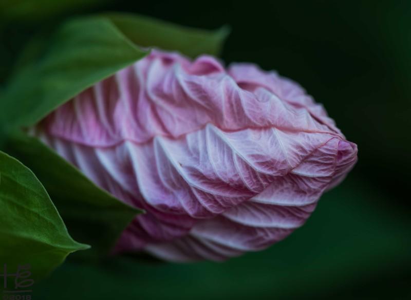 07-04-18_HEI_ATL_Macro-hibiscusbud.jpg