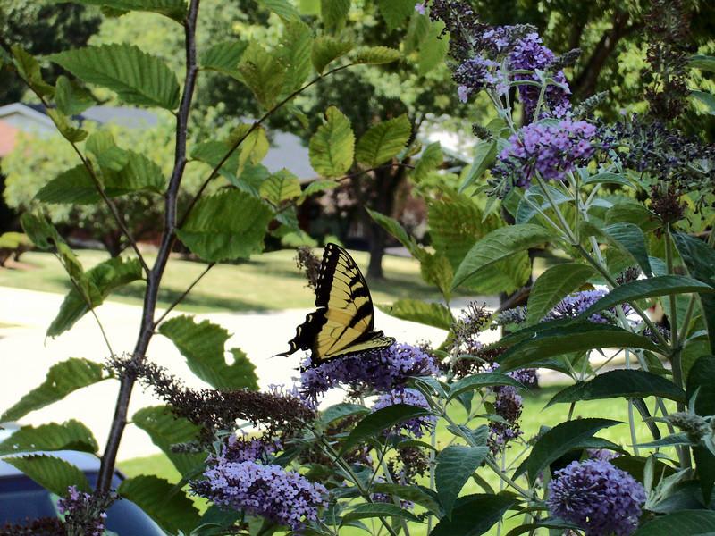 swallowtail1.jpg
