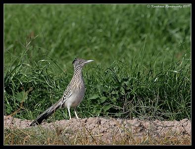 Cuckoos, Roadrunner