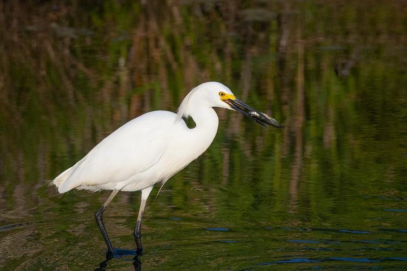 Snowy Egret with Fish Three.jpg