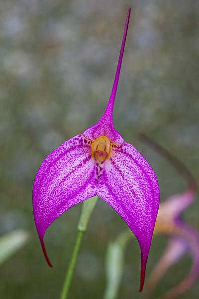masdevallia-orchid.jpg