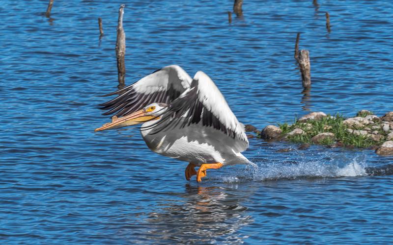 03 0084 Pelican Takes Off 3.jpg