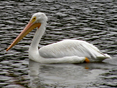 SIGHTING DETAILS OF WHITE PELICANS (Fall 2018)