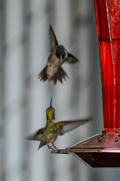 21MayHummingbirds (41 of 53).jpg