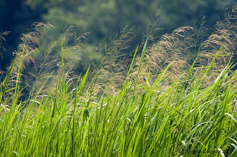Leersia orzoides.jpg