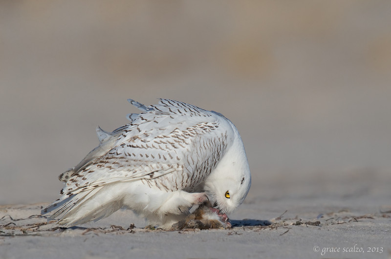 Snowy owl eating rabbit 3_O8U2029-Edit.jpg