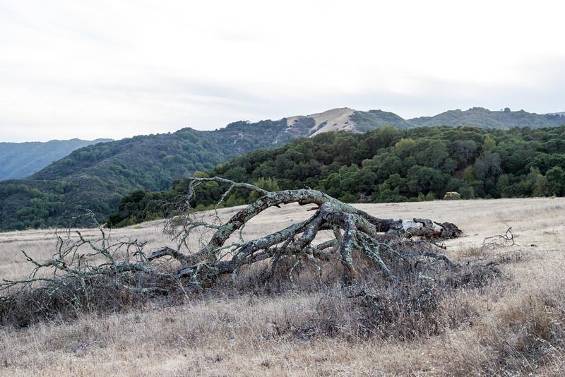 Tree @ Almaden Quicksilver