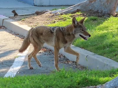 Coyote March 23 2019
