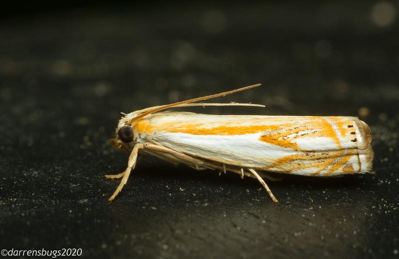 Grass-veneer moth, Crambus sp. (Crambidae) from Iowa.