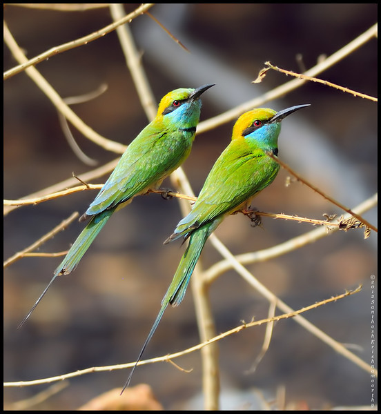 awesome twosome......green bee eaters....
