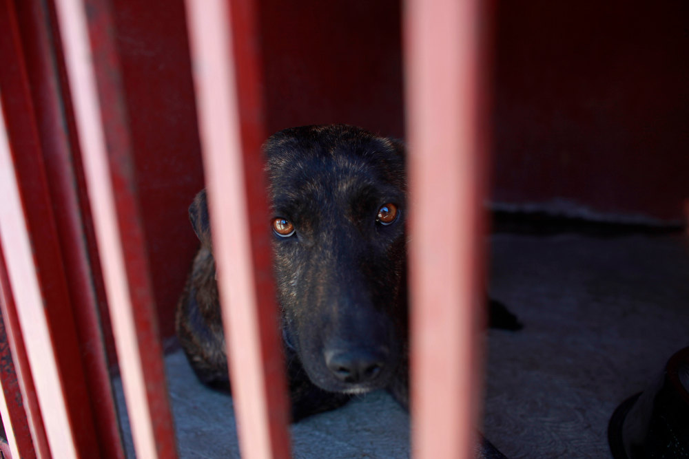 Description of . One of the dogs that was caught near the site of four fatal maulings sits inside a cage at a city dog pound in Mexico City,Wednesday, Jan. 9, 2013. Authorities have captured dozens of dogs near the scene of the attacks in the capital's poor Iztapalapa district, but rather than calm residents, photos of the forlorn dogs brought a wave of sympathy for the animals, doubts about their involvement in the killings and debate about government handling of the stray dog problem. (AP Photo/Dario Lopez-Mills)
