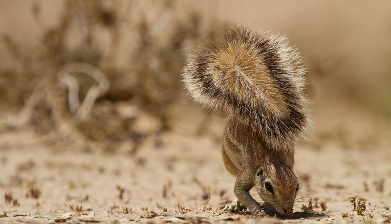 Ground squirrel using tail for sun shade, Kalahari Desert