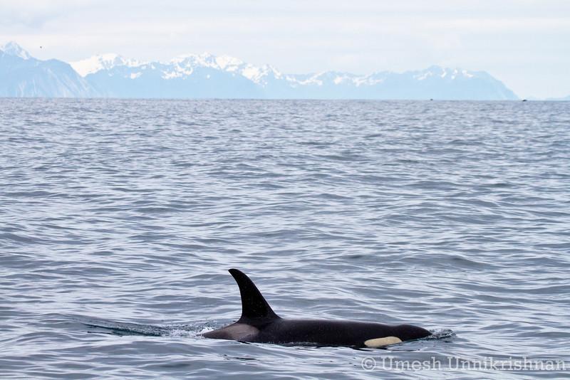 Kenai Fjords cruise 203.jpg