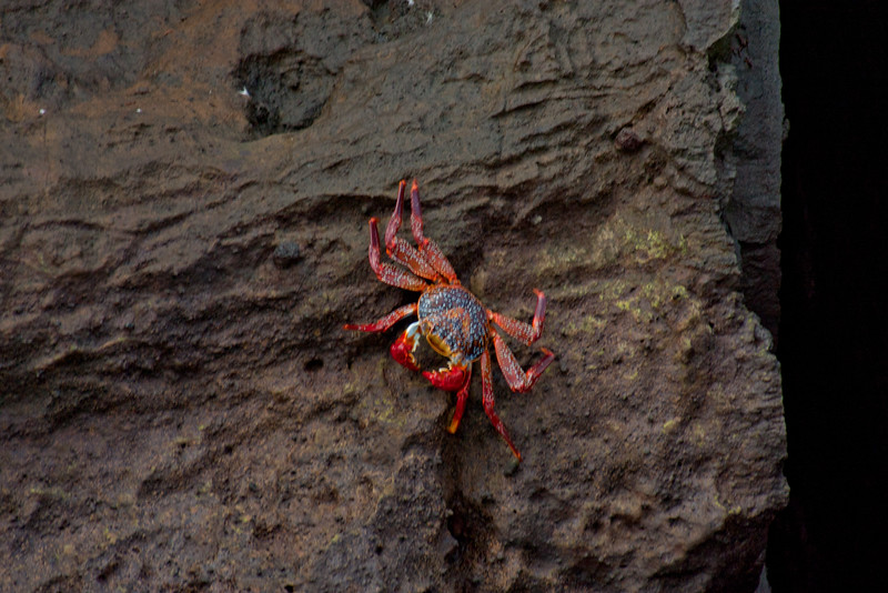 Sally Light Foot Crab Climbing Down : Journey into Genovesa Island in the Galapagos Archipelago