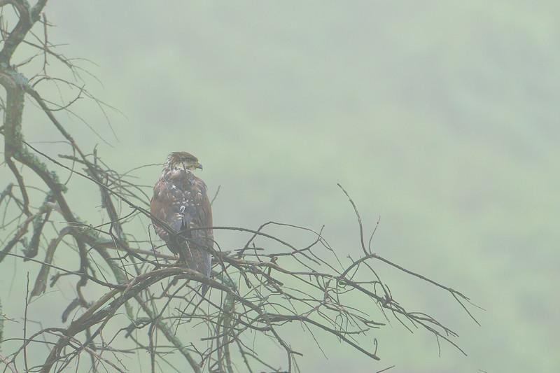 Mountain Buzzard in fog - Lake Nakuru National Park, Kenya