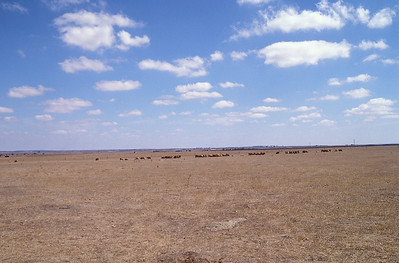 Cattle near Moree, New South Wales, Australia