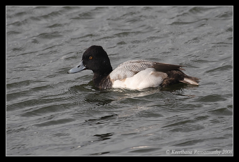 Lesser Scaup, Lake Murray, San Diego County, California, December 2008