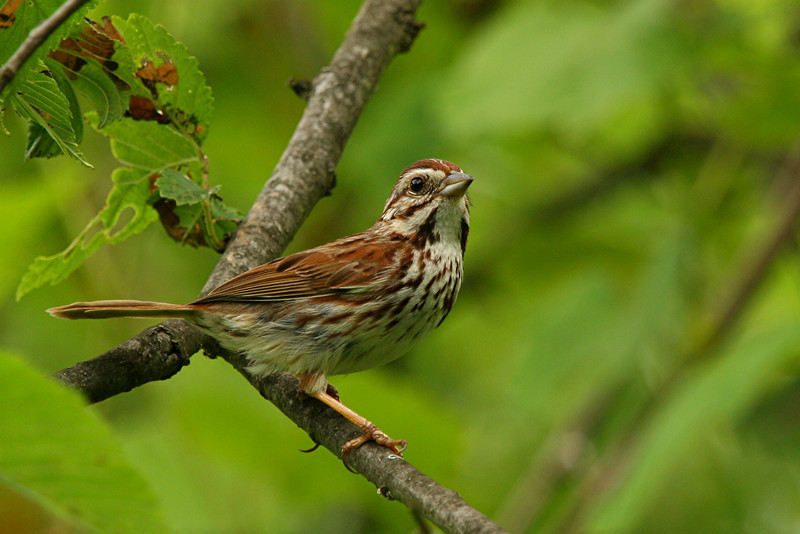 Song Sparrow - Pennsylvania